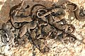 Baby Canterbury geckos.jpg