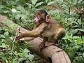 Baby monkey at Montagne Des Singes, Alsace.jpg