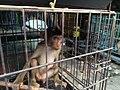 Baby monkey in cage, Jatinegara Market.jpg