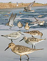 Bairds Sandpiper From The Crossley ID Guide Eastern Birds.jpg