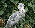 Balaeniceps rex -East Africa-8.jpg