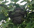 Baldface Hornet Nest.JPG