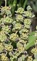 Ballota pseudodictamnus in Jardin des 5 sens (1).jpg