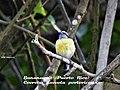 Bananaquit (Coereba flaveola) portoricensis.jpg
