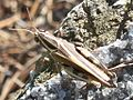 Barbarian Grasshopper (Calliptamus barbarus).jpg