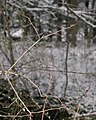 Barbed wire with thorns.jpg