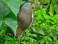 Bare-throated Tiger-heron (Tigrisoma mexicanum) (6941076536).jpg