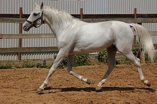 Tersk horse Russian breed of light riding horse