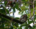 Batrachostomus moniliger -Sinharaja Forest Reserve, Sri Lanka-8.jpg