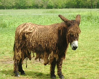 Poitou donkey - Adult bourailloux Poitou
