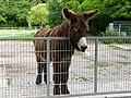 Baudet du Poitou donkey Esel 01.jpg