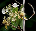 Bauhinia vahlii in Ananthagiri forest, AP W IMG 9203.jpg