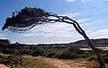 Baum Sardinien.jpg