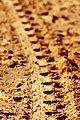 Beach Buggy Tracks (6225547267).jpg