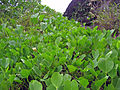Beach Morning Glory - Ipomoea pes-caprae 2.jpg