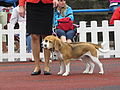 Beagle Pair (full).JPG