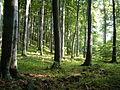 Beech forest Mátra.jpg