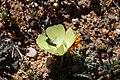 Beetle (Cleridae) on Grielum humifusum (Neuradaceae) (23585678648).jpg