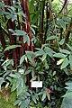 Begonia coccinea - Botanischer Garten - Heidelberg, Germany - DSC01018.jpg