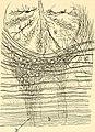 Beitrag zum Studium der Medulla Oblongata, des Kleinhirns und des Ursprungs der Gehirnnerven (1896) (14762281791).jpg