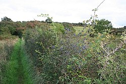 Berries in the hedge - geograph.org.uk - 967926.jpg