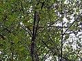 Betula nigra 5zz.jpg