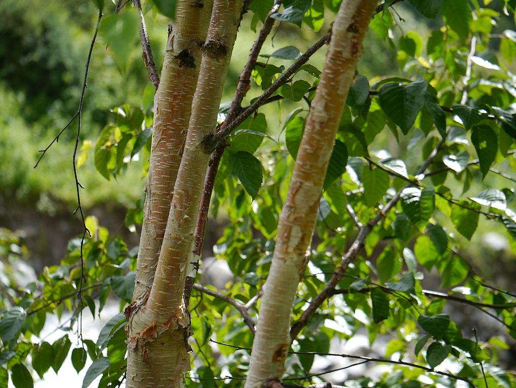 Betula utilis Himalayan Birch