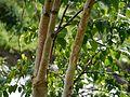 Betula utilis (7814453022).jpg