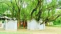 Bhuasuni tree.jpg