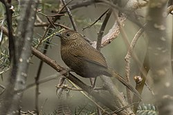Bhutan Laughingthrush - Eaglenest - India FJ0A8391 (34246003036).jpg
