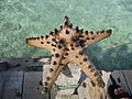 Bintang laut pulau Karimunjawa.jpg
