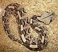 Bitis gabonica-- the Gaboon Viper (22009086901).jpg