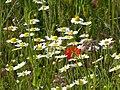 Blütenmeer im Naturschutzgebiet neben dem Altrheinradweg nach Altlußheim.jpg