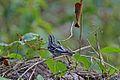 Black-and-white Warbler (Mniotilta varia) (8591587885).jpg