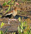 Black-bellied Whistling Duck (Dendrocygna autumnalis) (30717678763).jpg
