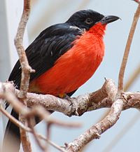 Black-headed Gonolek Laniarius erythrogaster National Aviary 1200px.jpg