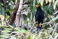 Black Caracara - Chupacacao Negro (Daptrius ater) (14909975447).jpg