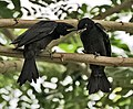 Black Drongo (Dicrurus macrocercus)- Juveniles at Kolkata I IMG 7822.jpg