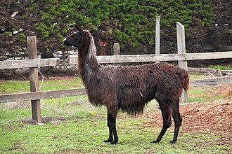 Llama - Picture of a Black Llama