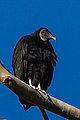Black Vulture (coragyps atratus) (8468983481).jpg