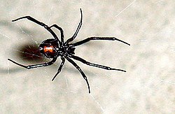 definition of latrodectus