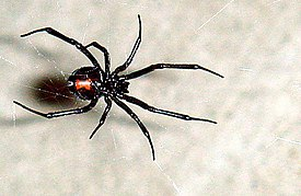 Black Widow 11-06.jpg