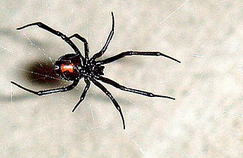 The Black Widow Spider Or Lactrodectus Females Frequently Eat Their Male Partners After Mating Venom Is At Least Three Times More Potent