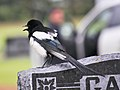 Black billed magpie -back.JPG