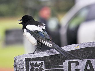 Black-billed magpie - Back view showing dark blue-green feathers