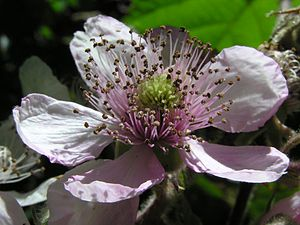 Bramble - Pink blackberry flower, Wellington, New Zealand