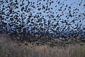 Blackbirds amassing and amurmuring (37164756493).jpg