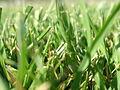 Blades of grass.jpg