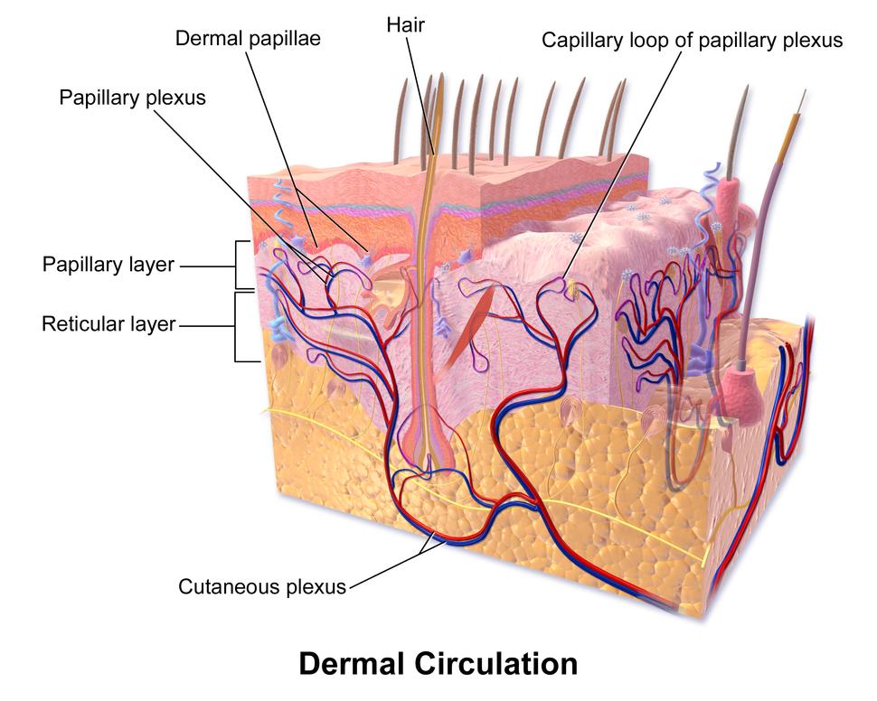 Blausen 0802 Skin DermalCirculation