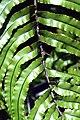 Blechnum novae-zelandiae in Aoraki Mount Cook NP 05.jpg